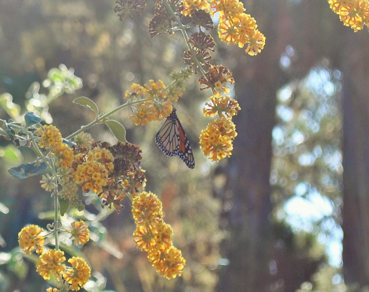 The 2015-2016 monarch season began in early October.