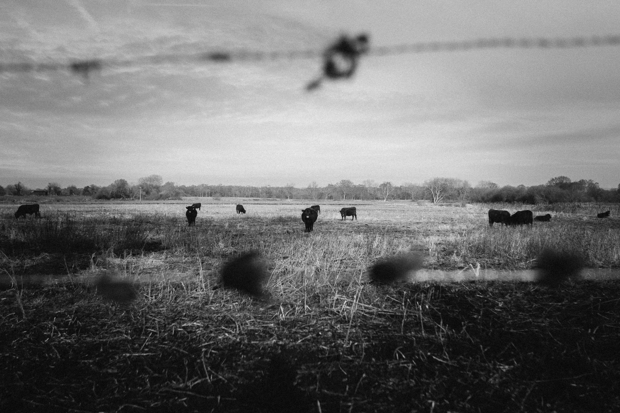 cow-wire-bw (1 of 1).jpg