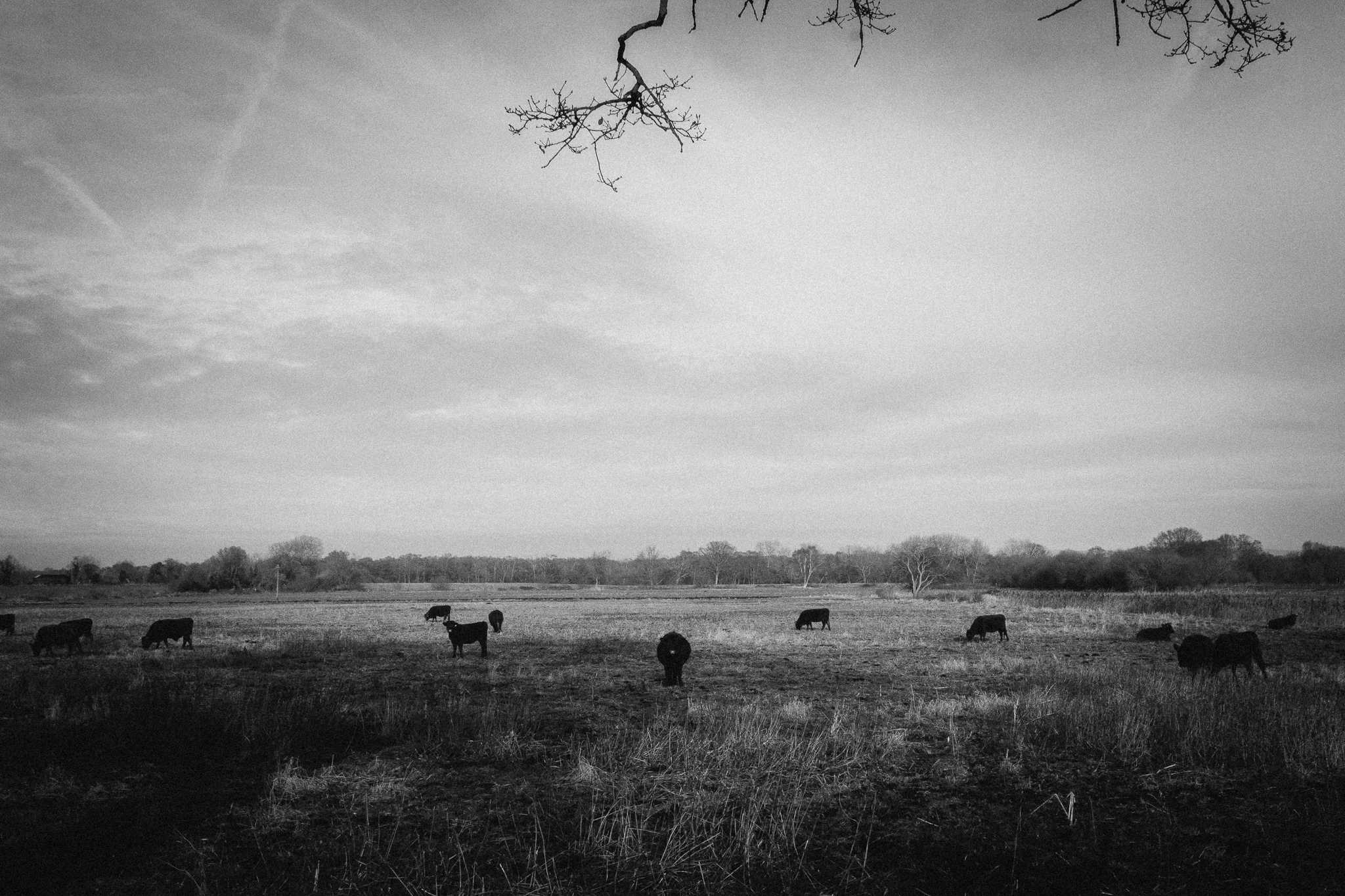 cow-wire2-bw (1 of 1).jpg