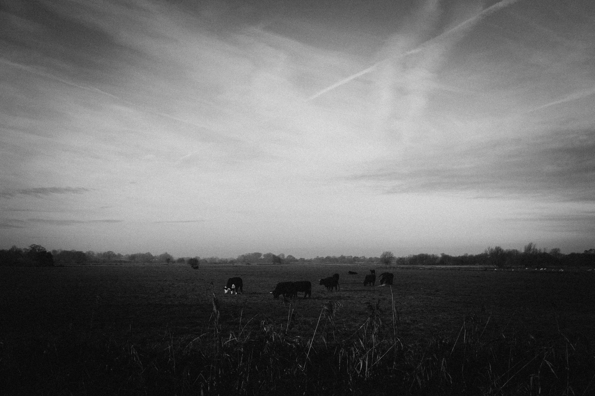 cows-bw (1 of 1).jpg