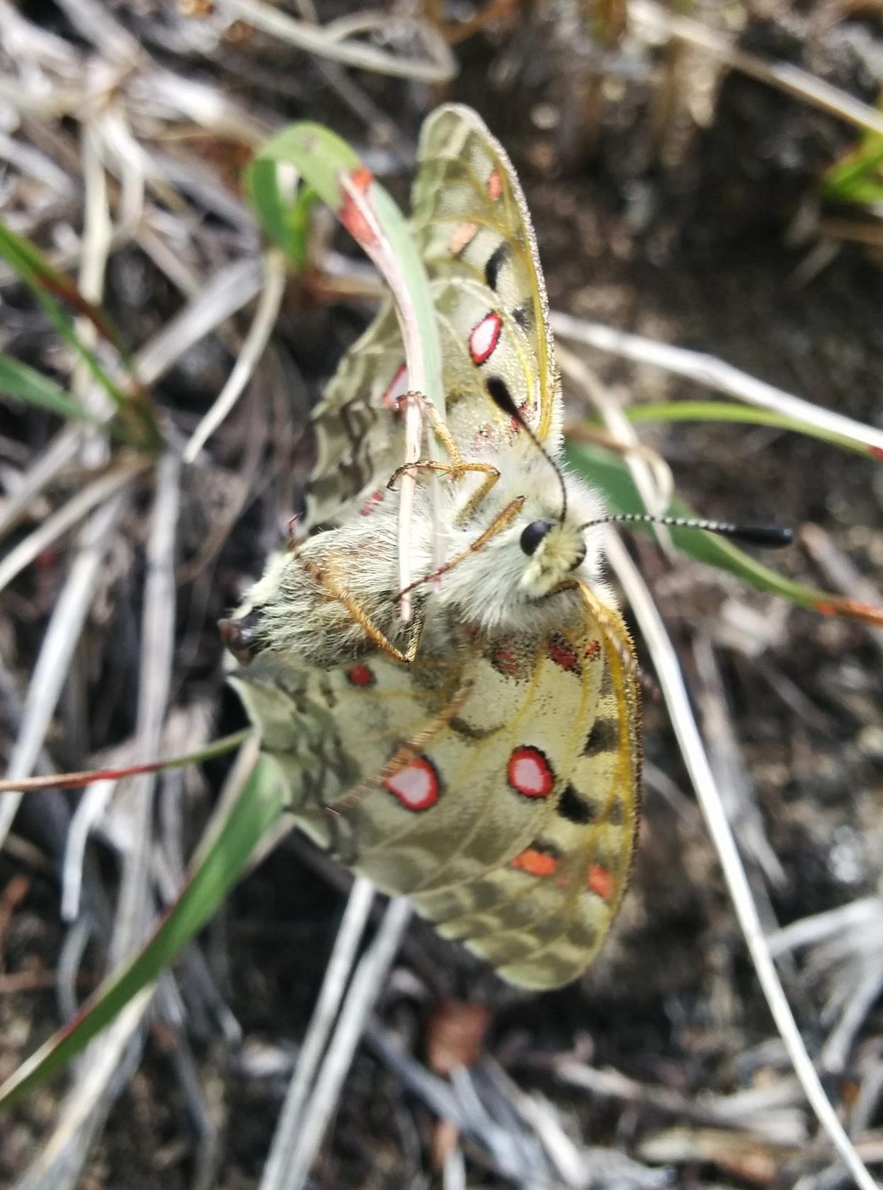 Female P. smintheus
