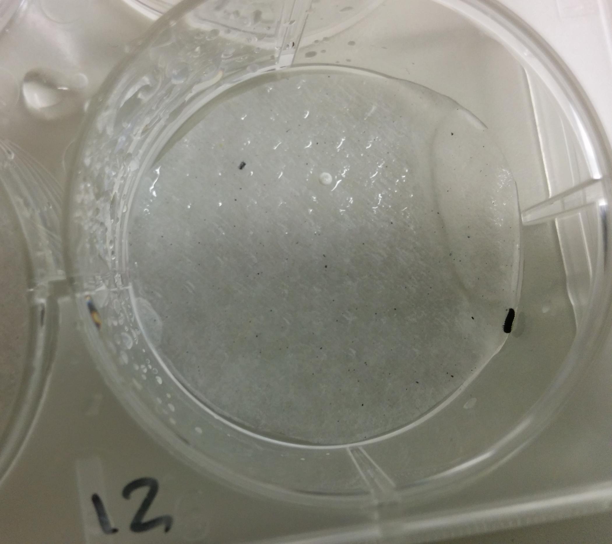 Newly hatched larva