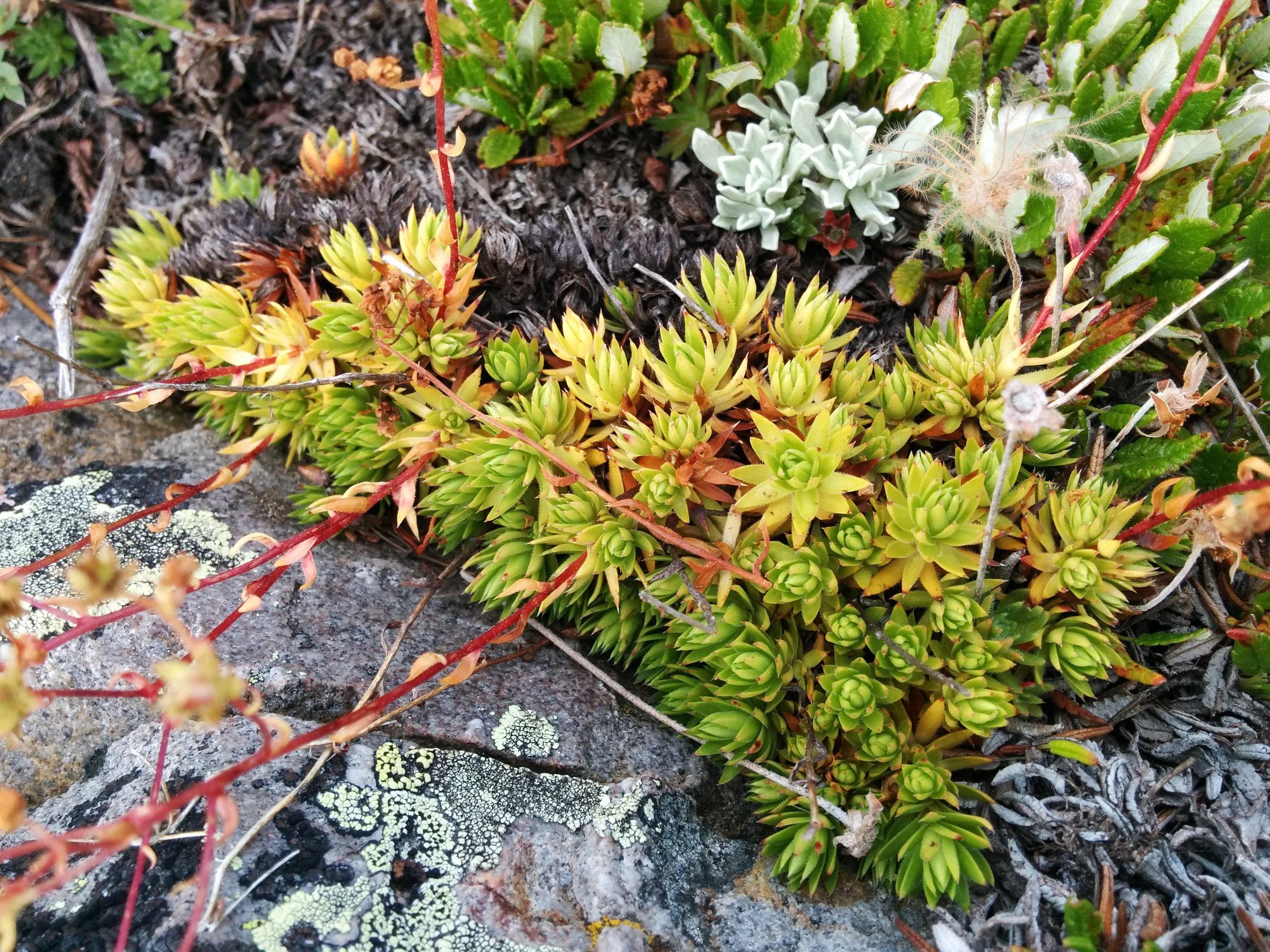 S. lanceolata  leaves