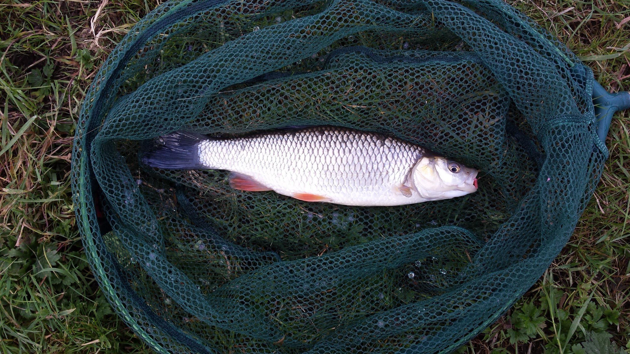 Quality chub of around 12 ounces caught by Mike Shrimpton on trotted red maggot