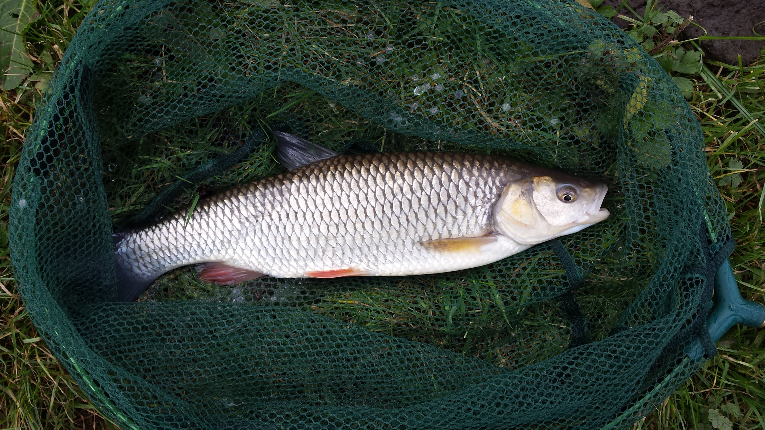 Another fin perfect Chub of around 1lbs caught by Mike Shrimpton