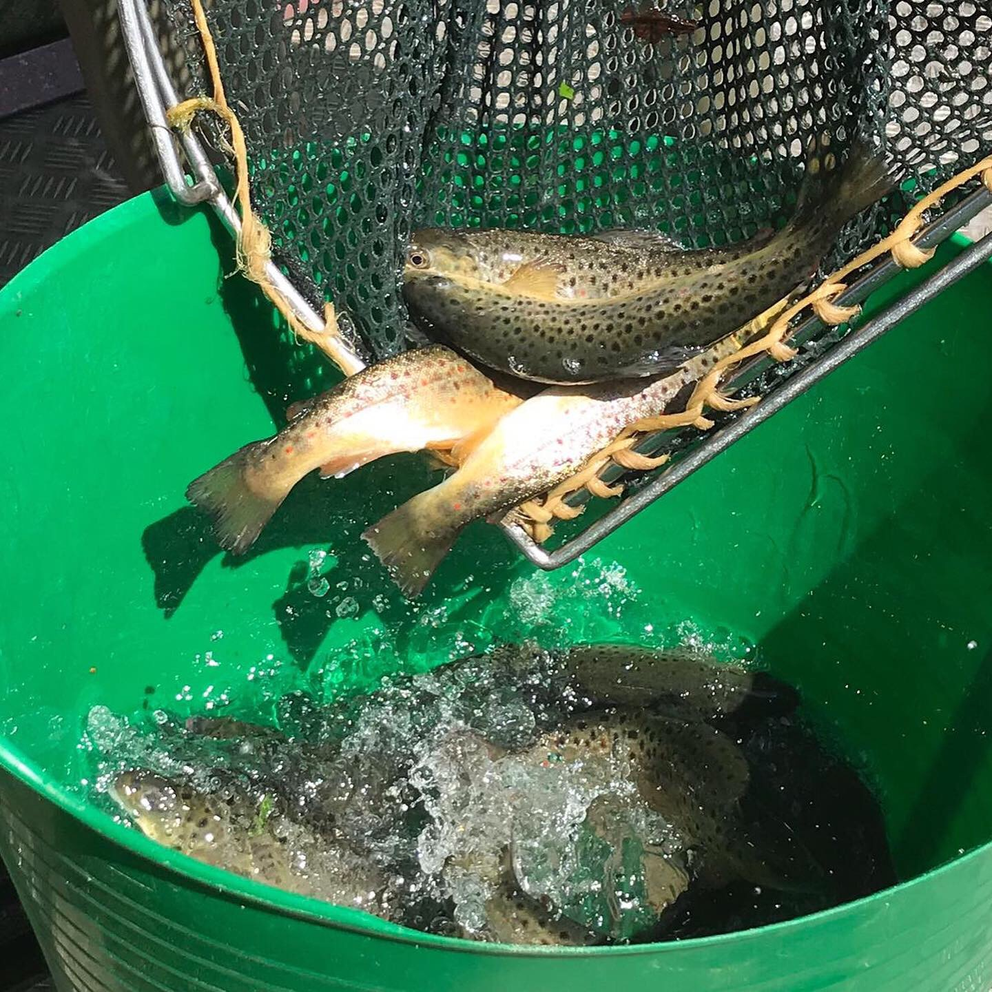 A sample of the Burwarton brown trout stocked at durbridge