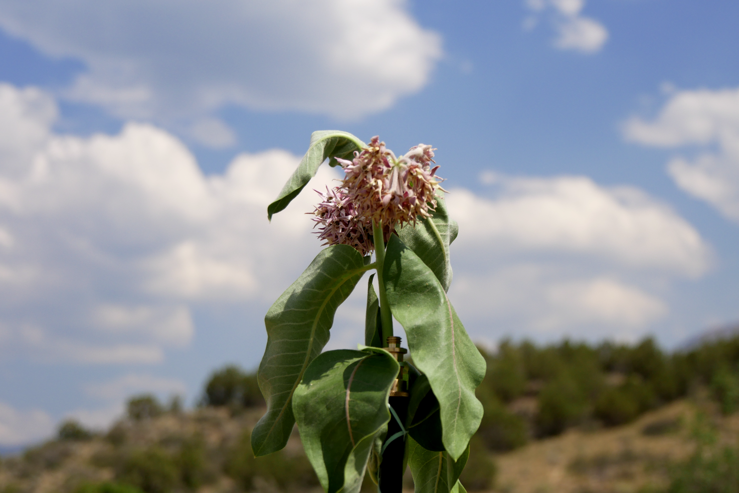 Shot lots of flowers along the ditch trail on Paonia Hill. This is wilting milkweed.