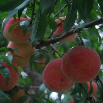 Picking Peaches at Marburger Farm
