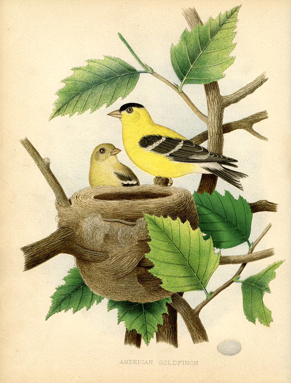 goldfinch+nest+vintage+image+GraphicsFairysm.jpg