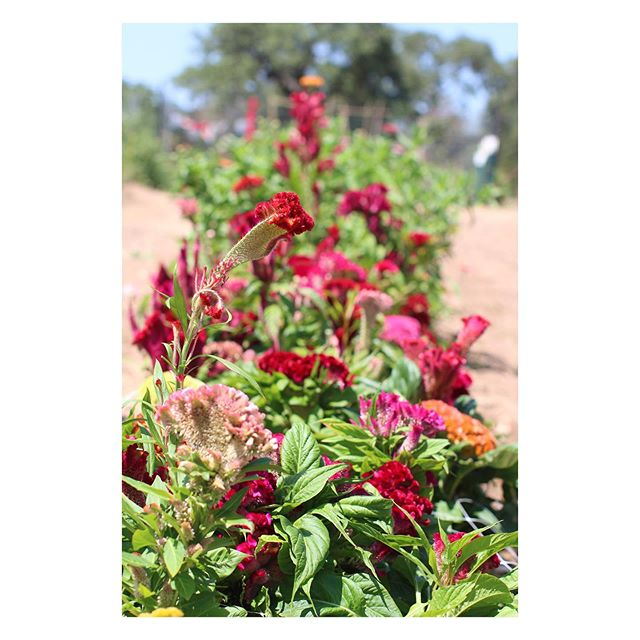 The row of Celosia at @windmill_meadow_farm may be my favorite.