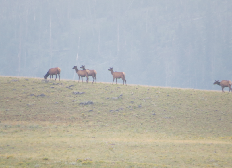 Early morning elk in the mist