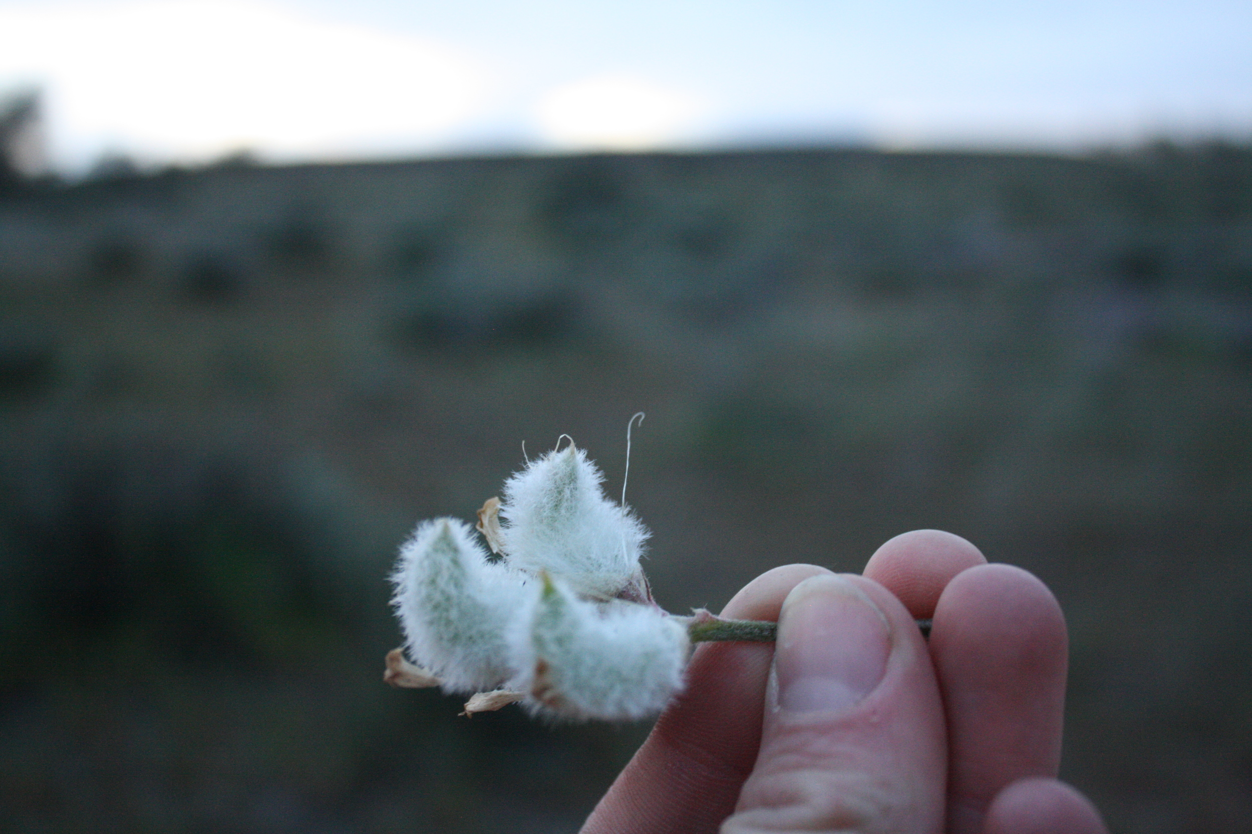 Locoweed. Or, tiny fuzzy elf slippers.