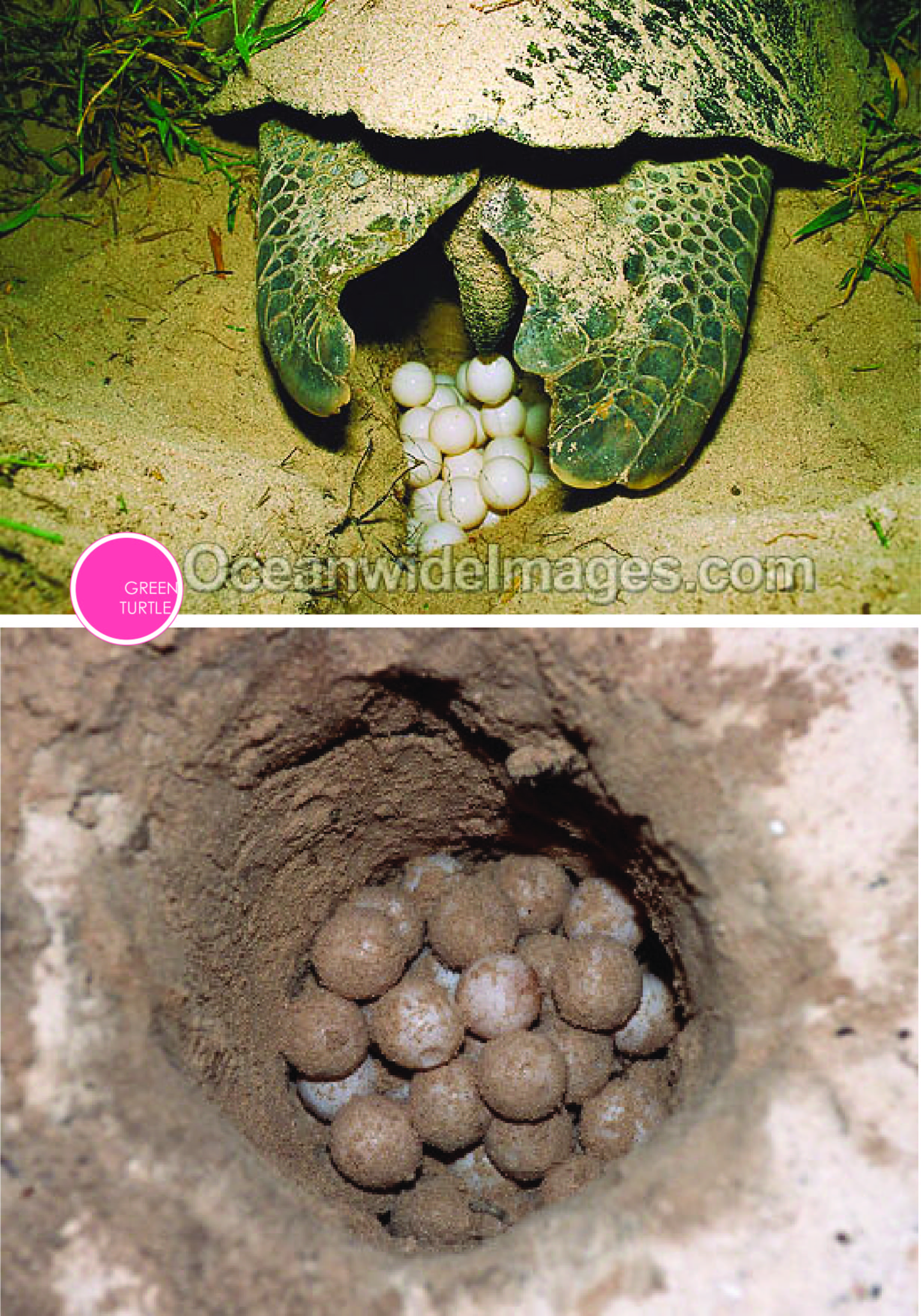 Above are images I found online of what we saw. To protect the turtles, photographs we not allowed. But this gives you an almost perfect representation of what we encountered that night. Click-thru for source.