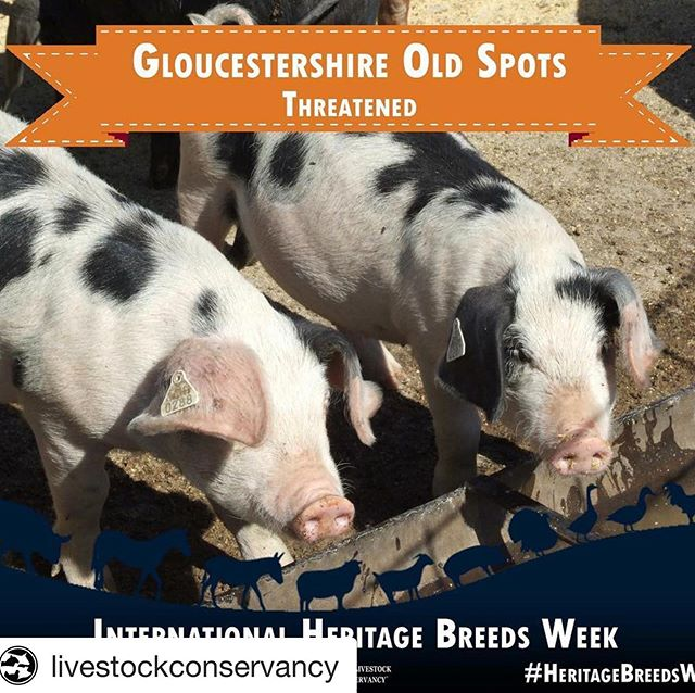 "#Repost @livestockconservancy with @get_repost ・・・ Gloucestershire Old Spots pig – Threatened The breed was developed in the Berkley Vale of Gloucestershire, England, during the 1800s. Its exact origins are not known, though it was likely based on two breeds – the original Gloucestershire pig which was large, off-white, had wattles and was without spots, and second, the unimproved Berkshire. Both of the old breeds used to develop the Old Spots are now extinct. Gloucestershire pigs were selected as excellent foragers and grazers. The pigs are thrifty, able to make a living from pasture and agricultural by products, such as whey from cheese making, windfall apples in orchards, and the residue from pressing cider. These easy keeping qualities gave Gloucestershire Old Spots the nicknames ""cottage pig"" and ""orchard pig."" British folklore claims the large black spots are bruises caused by the apples falling onto them as they foraged the orchard floors for food. Learn more here: http://bit.ly/GloucestershireOldSpots #HeritageBreedsWeek"