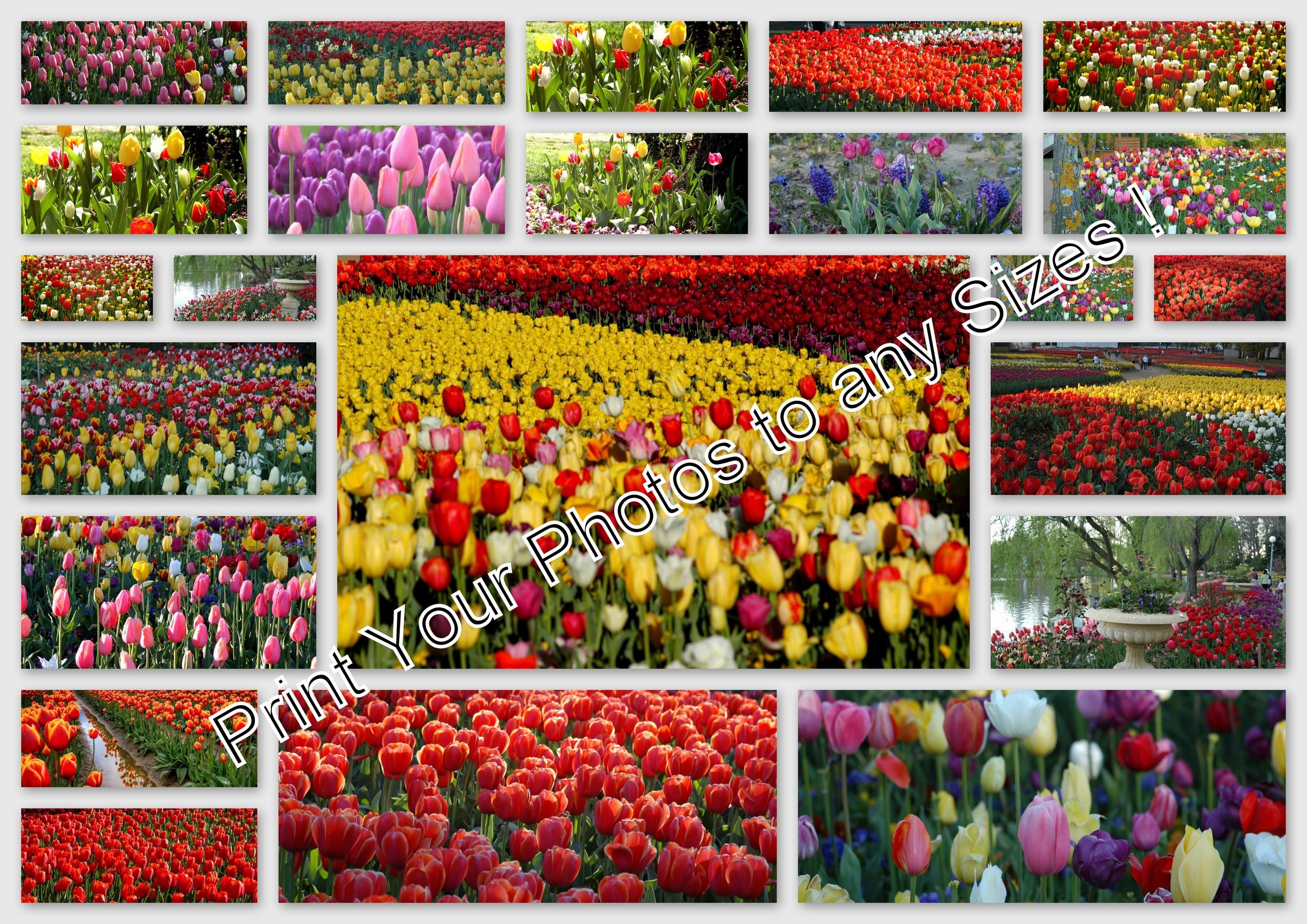 1-01102005 100ND100 - Canberra, Tulip.jpg