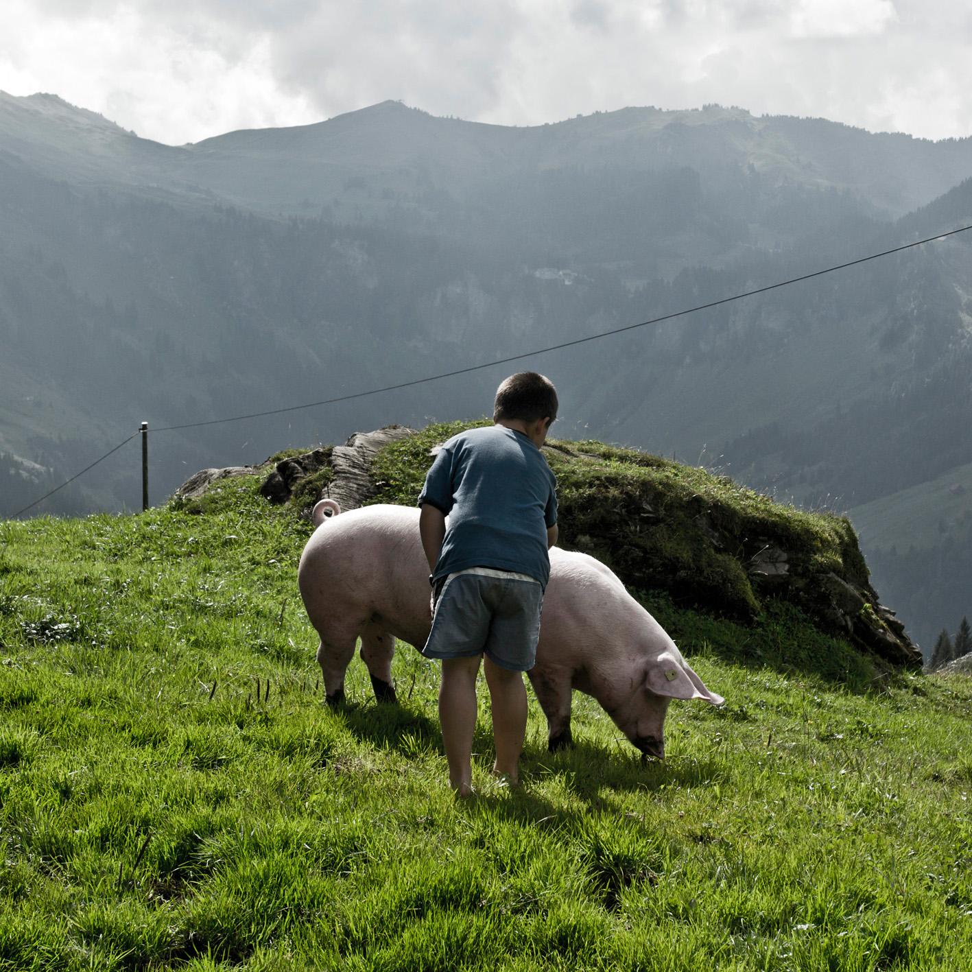 Schwein auf Alp Hochybrig Schwyz