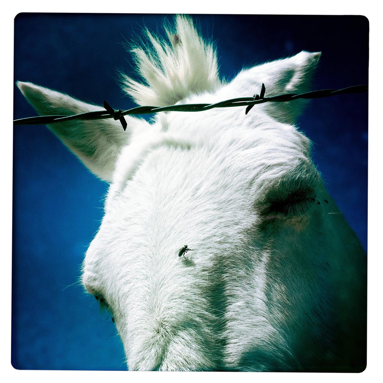 Mule with Fly Sierra Diablo TX Texas