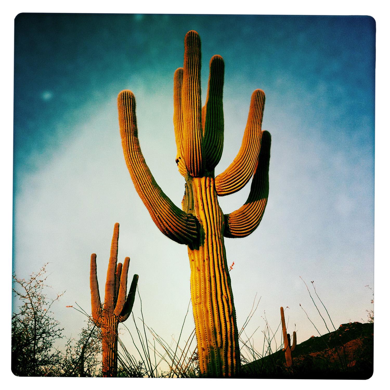 Big Candelabra in the Saguaro National Park near Tucson AZ Arizona