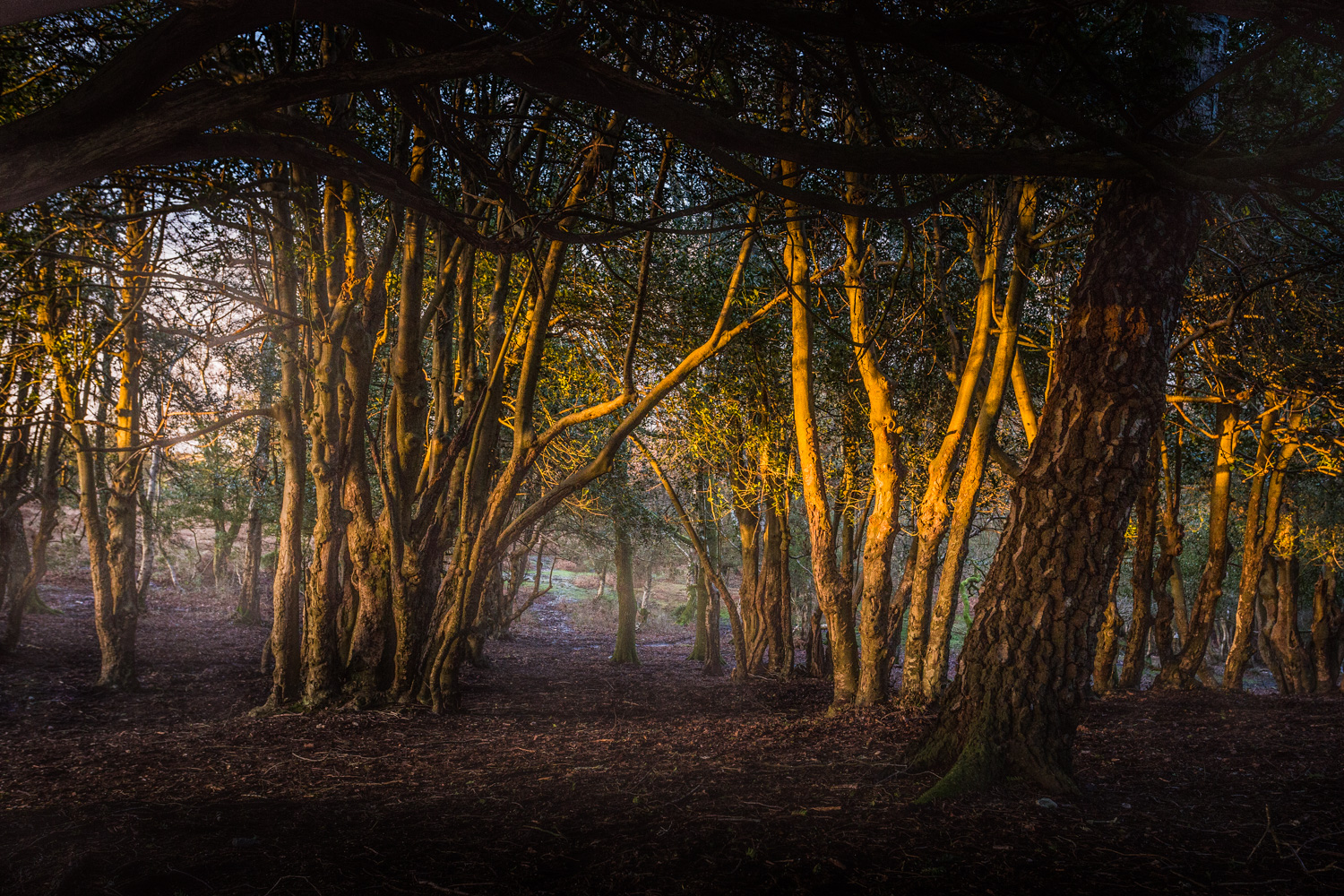 Low sun cutting across trees in the New Forest