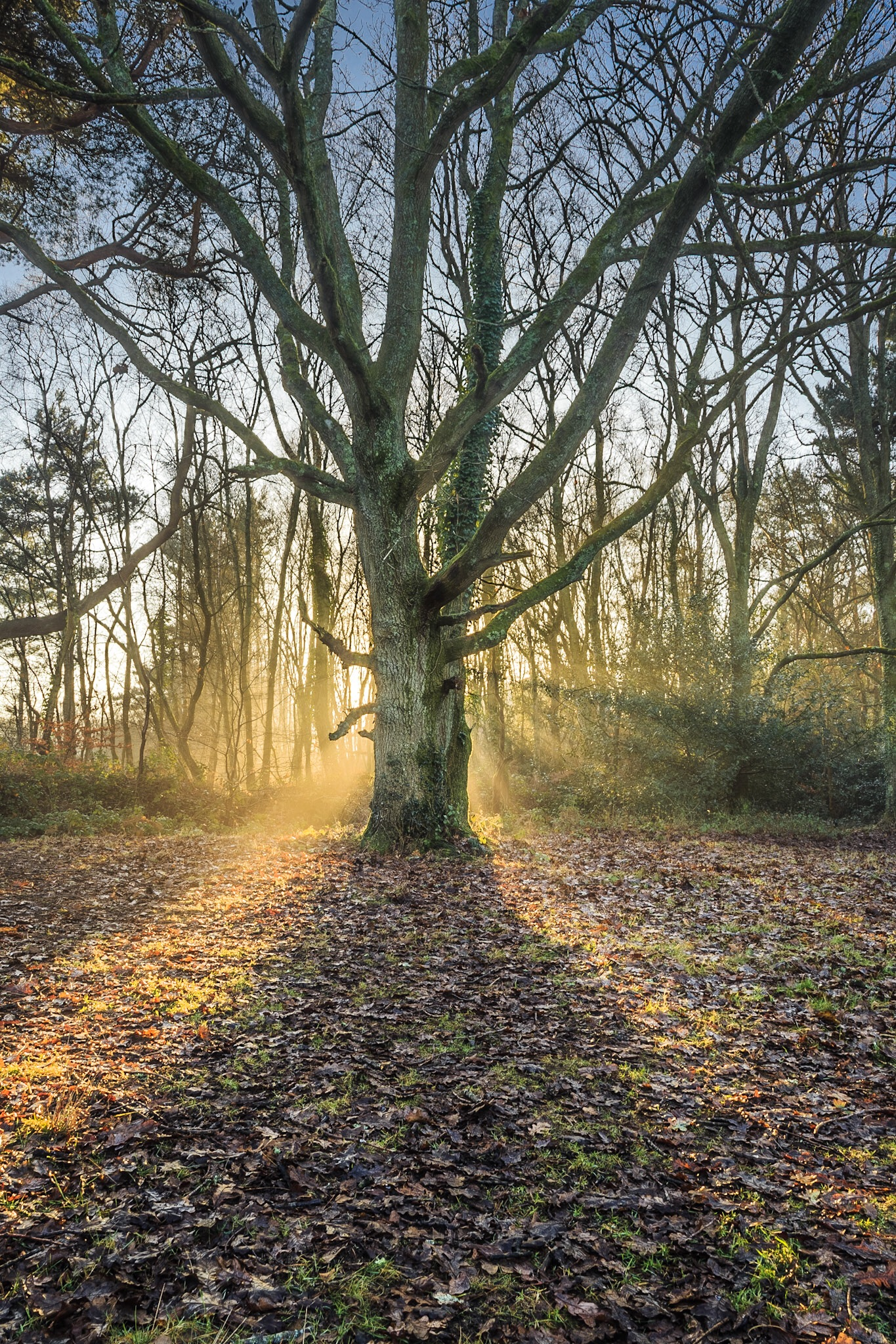 Picture of a tree in Delph Woods - landscape photography in Poole by Rick McEvoy