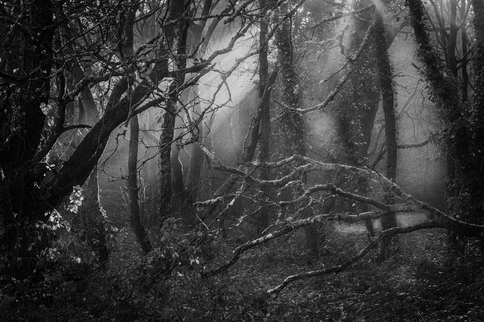 Moody mysterious woods in black and white