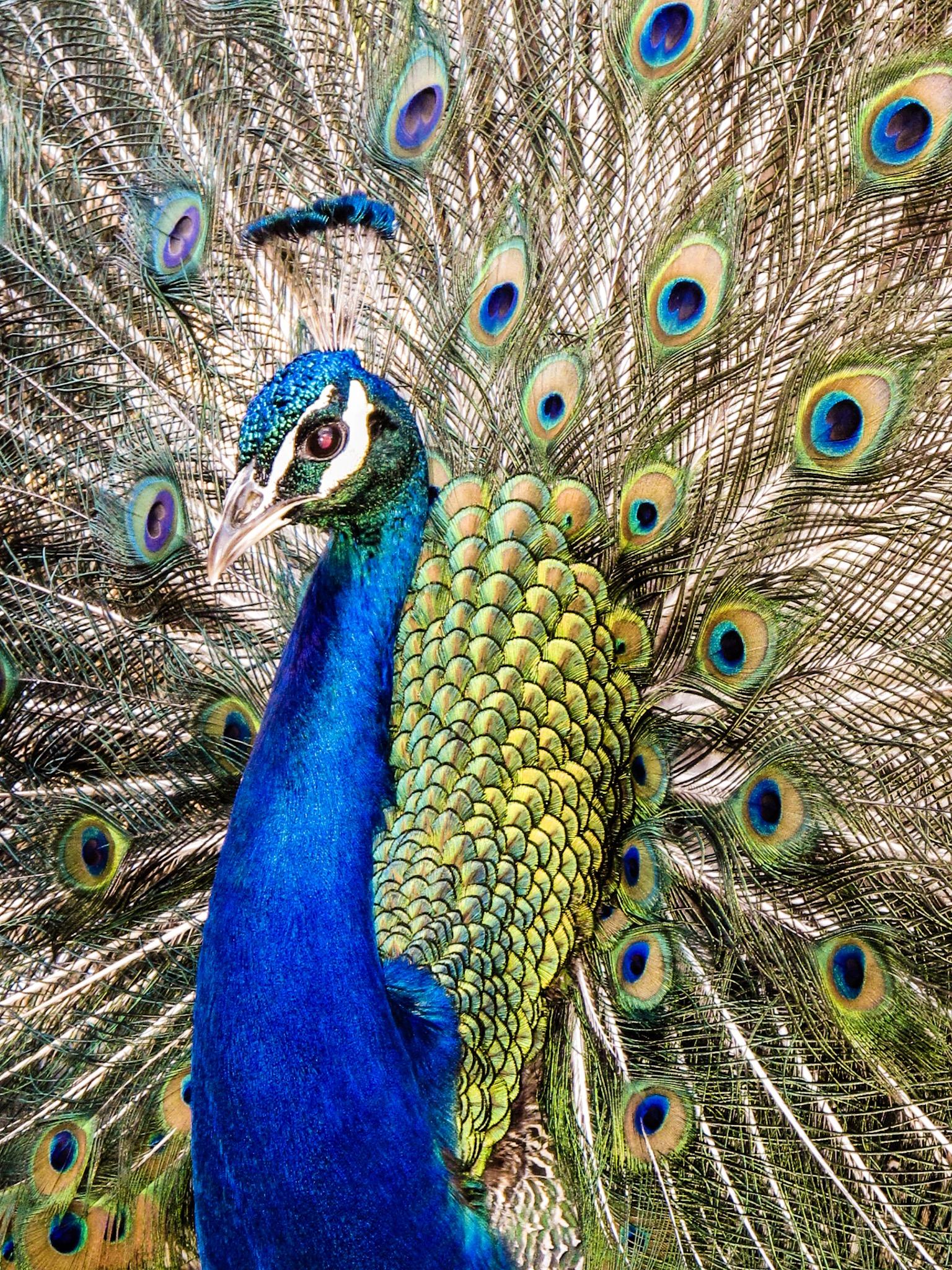 Peacock on Brownsea Island by Poole Photographer Rick McEvoy