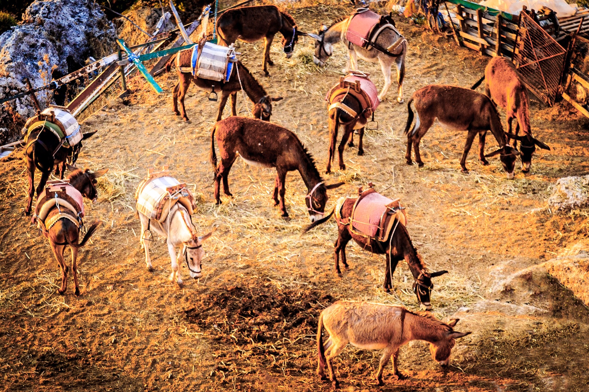 Donkeys eating breakfast, Lindos, Rhodes, Greece