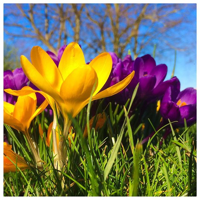 It's still February - but Spring has most definitely Sprung! 😍  #crocus #spring #bluesky #heatherthephotographer  #huddersfield  #commercialphotography 📷