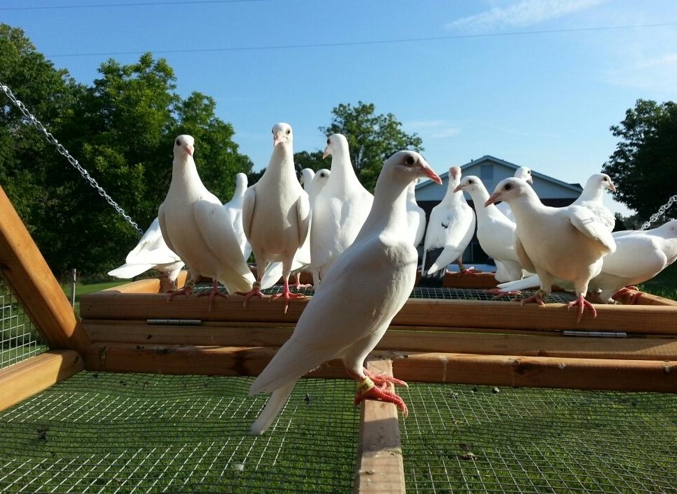 St_Louis_Doves_Birds.jpg