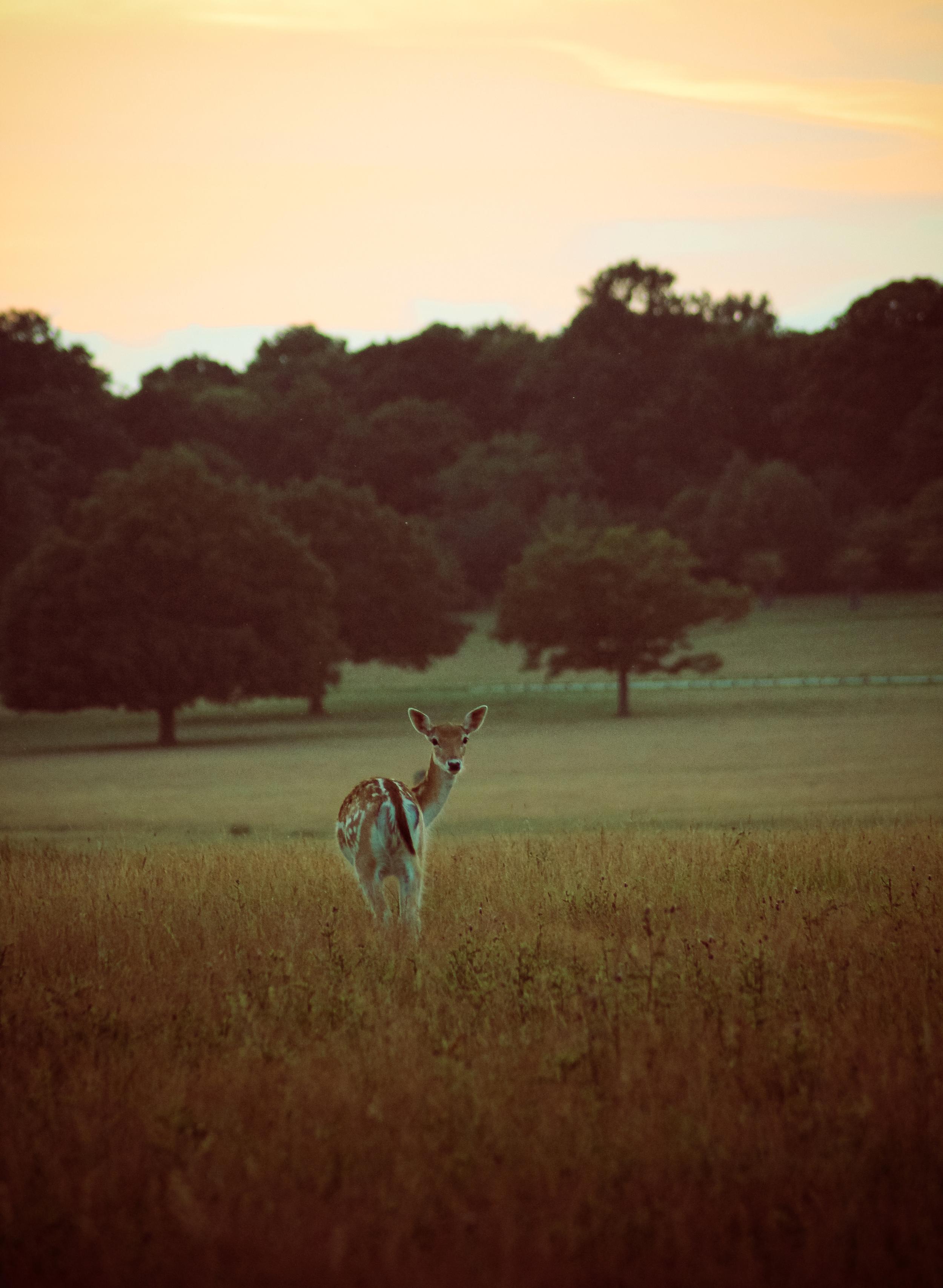Deer 3.jpg