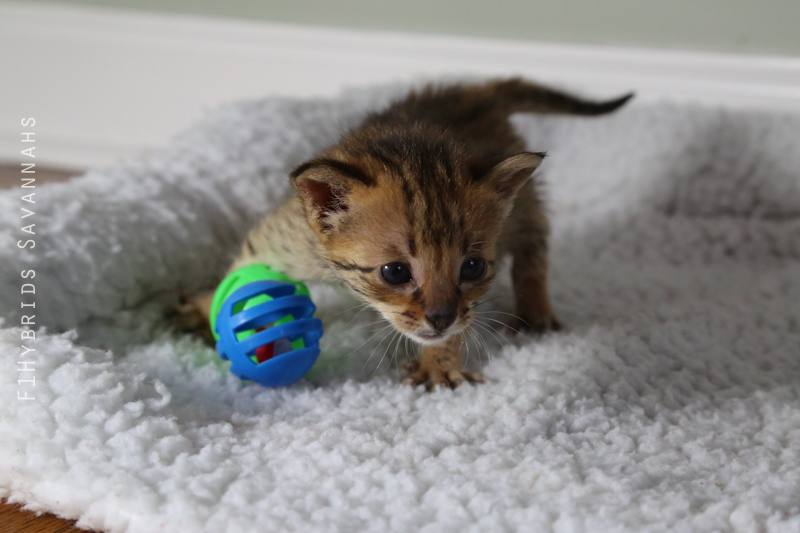 redford-spicys-f2-savannah-kitten-4.jpg