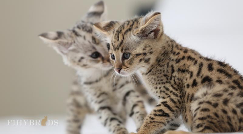 Farnsworth and Belvadere (F1 Savananh Kittens)