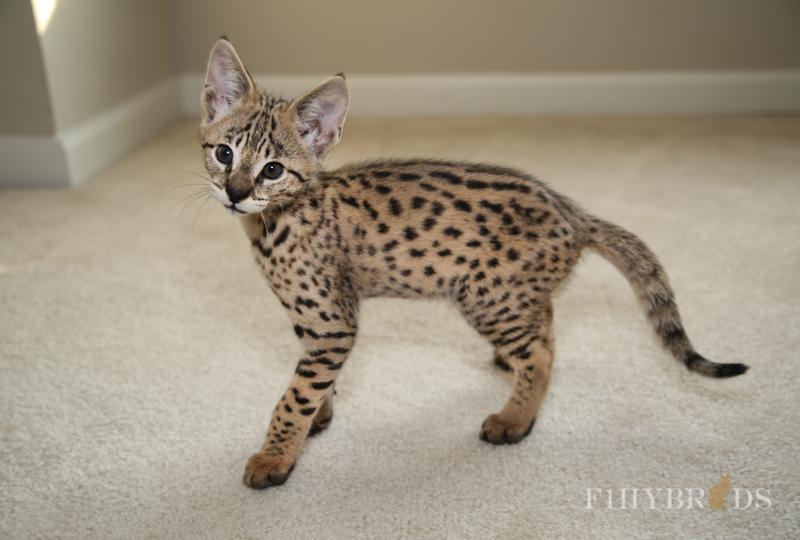 savannah-kittens-440.jpg
