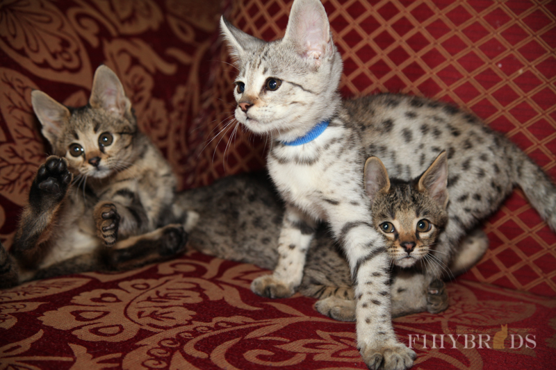 savannah-kittens-283.jpg