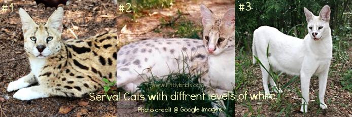 whiteservalcats