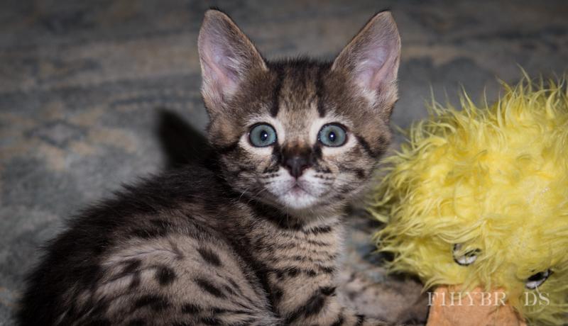 kopi-f2-savannah-kittens-#5-9.jpg