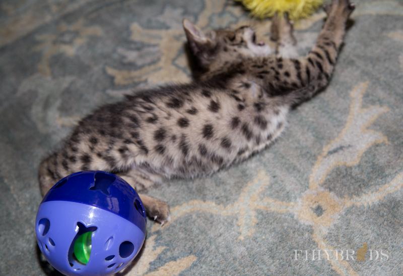 kopi-f2-savannah-kittens-#5-10.jpg