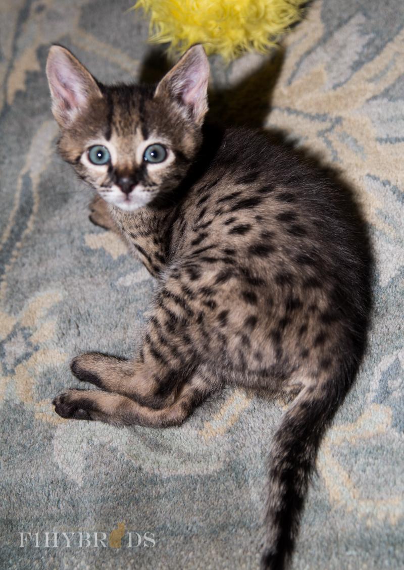 kopi-f2-savannah-kittens-#5-11.jpg
