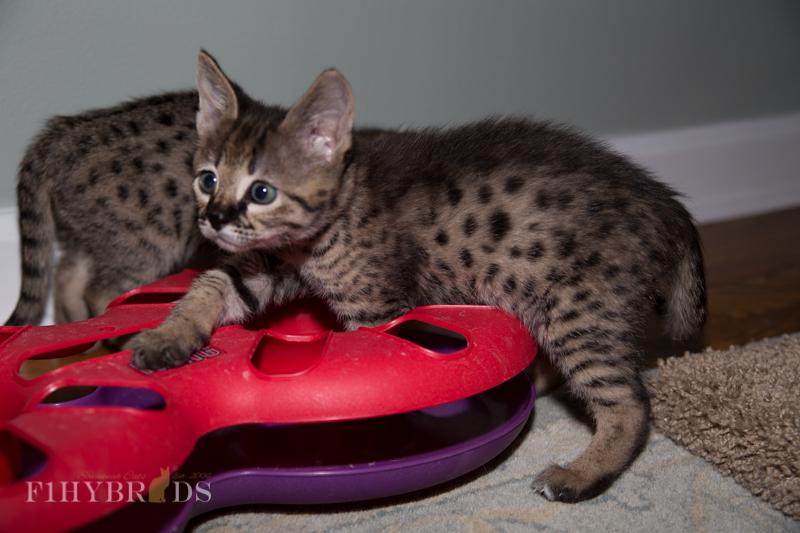 kopi-f2-savannah-kittens-#5-26.jpg