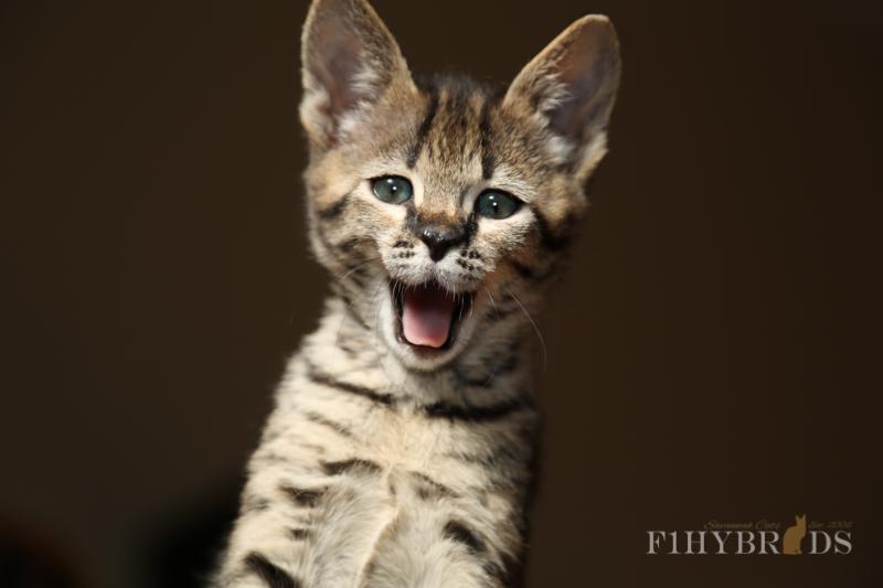 kopi-f2-savannah-kittens-#5-14.jpg