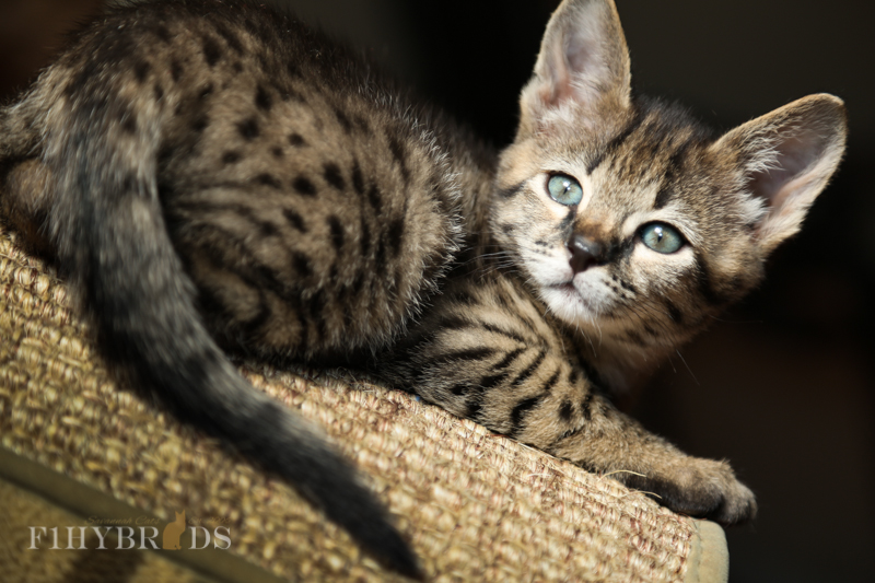 kopi-f2-savannah-kittens-#5-12.jpg