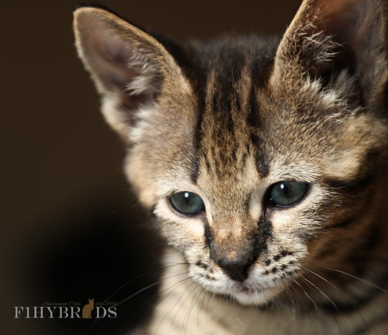 kopi-f2-savannah-kittens-#5-18.jpg