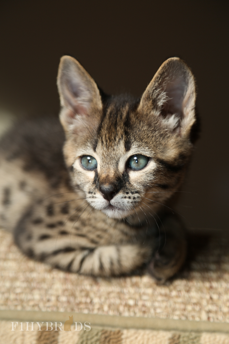 kopi-f2-savannah-kittens-#5-24.jpg