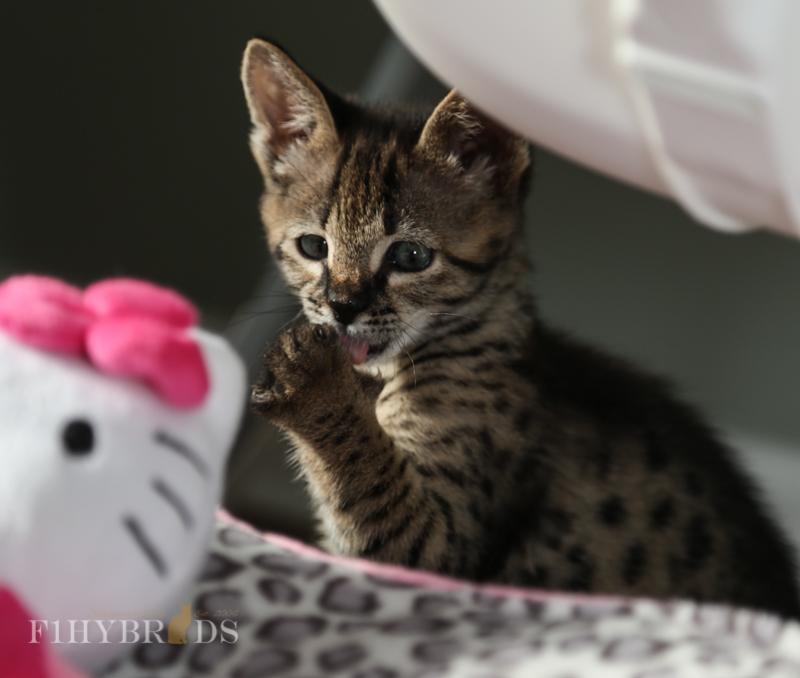kopi-f2-savannah-kittens-#5-45.jpg