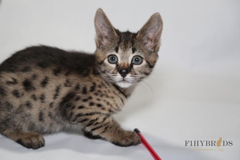 kopi-f2-savannah-kittens-#5-64.jpg