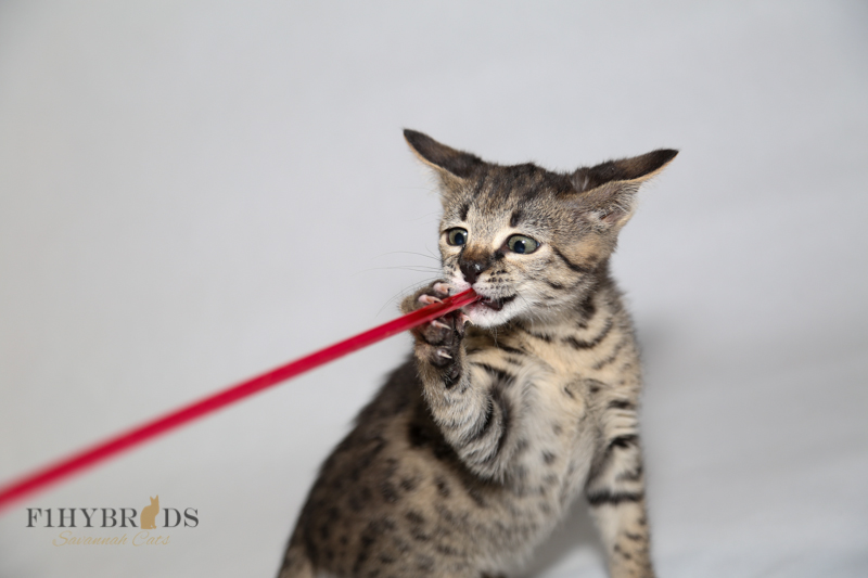 kopi-f2-savannah-kittens-#5-70.jpg