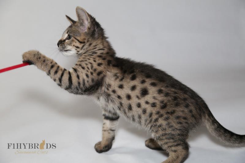 kopi-f2-savannah-kittens-#5-74.jpg