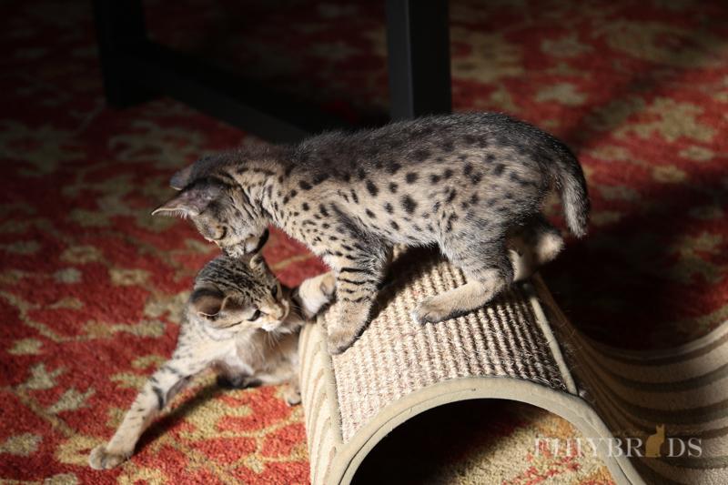kopi-f2-savannah-kittens-#5-81.jpg