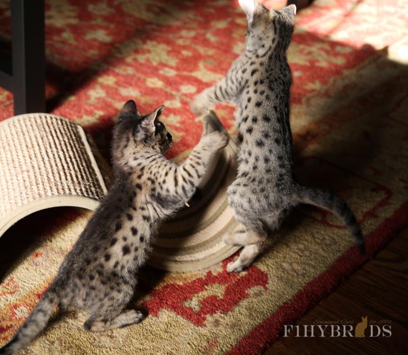 kopi-f2-savannah-kittens-#5-82.jpg