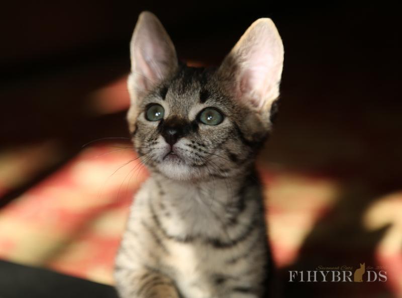kopi-f2-savannah-kittens-#5-86.jpg